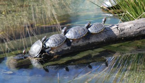pond_sliders_at_smithsonian_national_zoological_park_in_washington